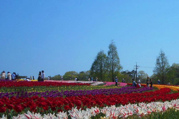 カラフルなチューリップ畑@爽やか世羅高原
