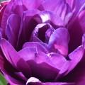 八重咲きのバイオレット@チューリップ祭@世羅高原