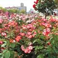 五月の薔薇があふれる@ばら公園@福山ばら祭