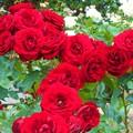 情熱の紅い薔薇@緑町のばら花壇@福山ばら祭