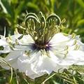 新緑の候に@ニゲラの白い花