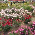 春爛漫のばら公園@福山ばら祭
