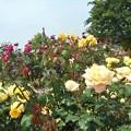 風薫る新緑の薔薇たち@緑町公園会場@福山ばら祭