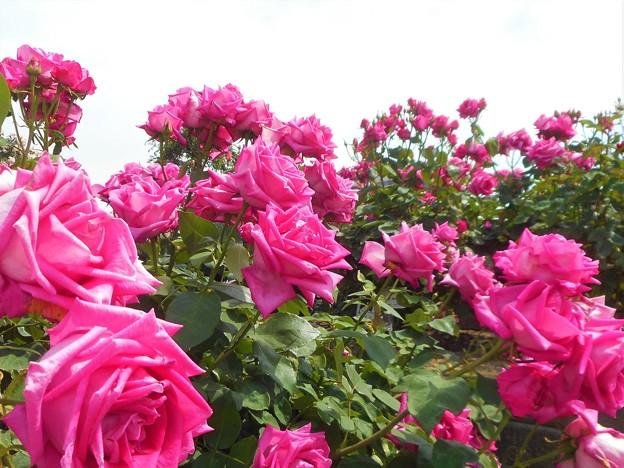 """初夏の薔薇 """"ディム和子""""@福山ばら祭"""