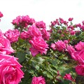 "Photos: 初夏の薔薇 ""ディム和子""@福山ばら祭"