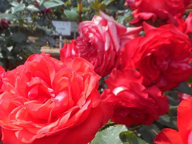 """新緑の紅い薔薇 """"鞍馬""""@福山ばら祭"""