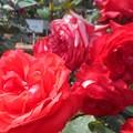"""Photos: 新緑の紅い薔薇 """"鞍馬""""@福山ばら祭"""