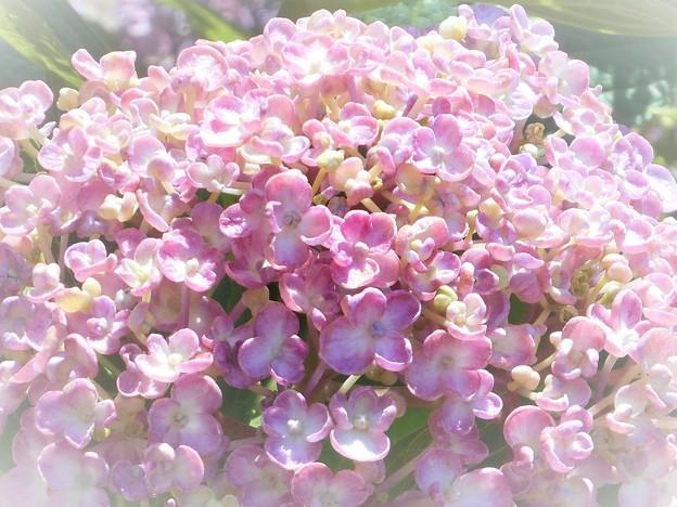 ほんのり赤紫色@おたふくあじさい