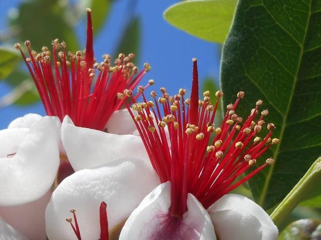 フェイジョアのエキゾチックな@紅い蕊白い花びら