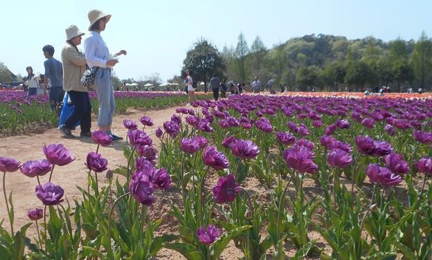 写真: パープルカラーなチューリップ畑@春爛漫の世羅高原