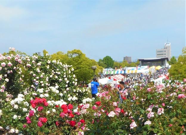 新緑の薔薇 クイーン・エリザベスとピエール・ドゥ・ロンサールの咲き乱れる丘