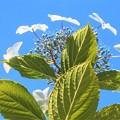 写真: 見上げれば@ガクアジサイの花@瑠璃山