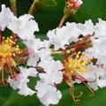 野道に咲く@サルスベリの花(白)