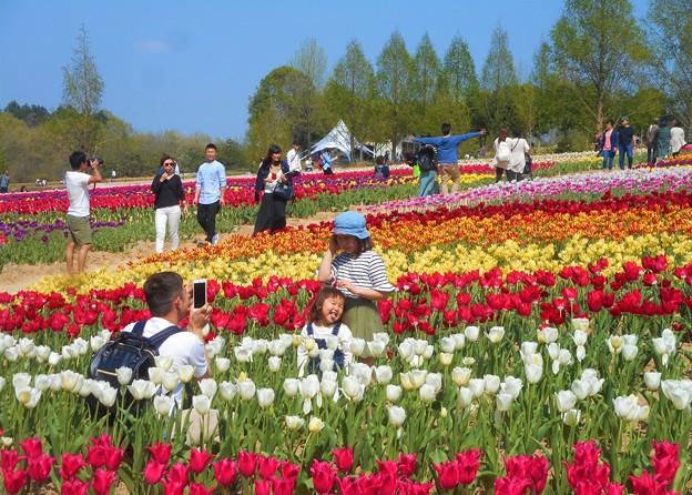 春爛漫のチューリップ畑@世羅高原