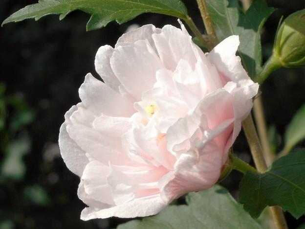 真夏の駅前に咲く@八重のムクゲ