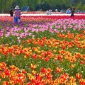 Photos: 極彩色のチューリップ畑@春爛漫の世羅高原