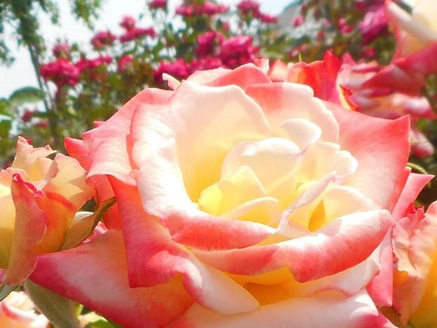"""初夏の薔薇 """"ヒロシマチルドレン""""@福山ばら祭2017"""