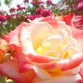 """Photos: 初夏の薔薇 """"ヒロシマチルドレン""""@福山ばら祭2017"""