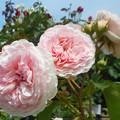 """写真: 青空に初夏の薔薇 """"マリアテレジア"""" 咲き誇る@緑町公園ばら花壇"""