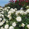 写真: ホワイトローズが満開@ばら花壇