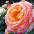 """5月の薔薇 """"フィリップ・ノアレ""""(フランスの俳優)@ばら花壇"""