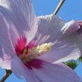 爽やかな青空に ムクゲの花