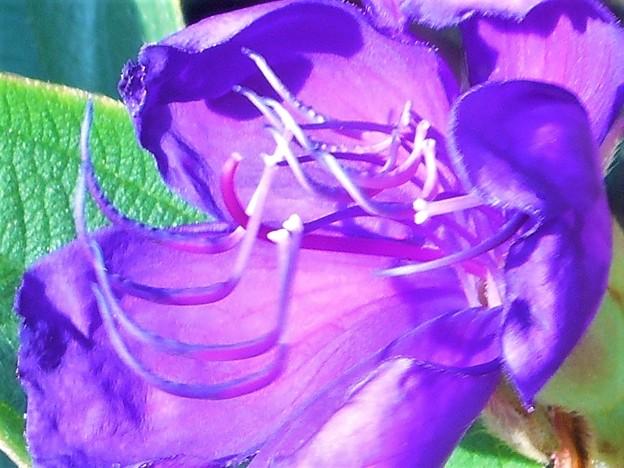 不思議な蕊を持つ青い花@シコンノボタン