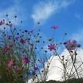 写真: 見上げれば コスモス咲いて 秋@久山田水源池