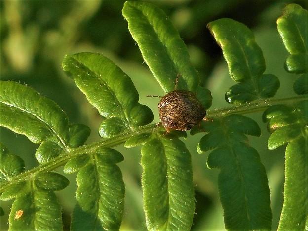 写真: まん丸い小っちゃな(小さな)昆虫くん@マルカメムシ@シダの葉