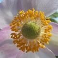 秋の陽の 秋明菊(シュウメイギク)