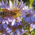 紫苑(シオン)の花に 見かけない昆虫くん@秋の高原
