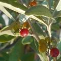 写真: ロシアンオリーブの紅い実たち