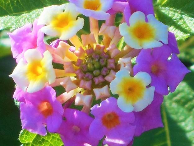 ランタナの花@秋の高原