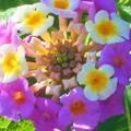 写真: ランタナの花@秋の高原
