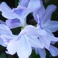 写真: 光の魔術師レンブラント風な@ホテイソウの花