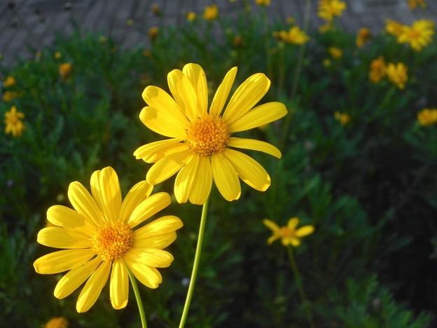 イエローな野の花