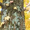 写真: 見上げれば色づく秋@あめりかふう@高原の秋
