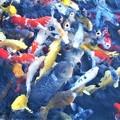 写真: エサちょうだい@赤・白・黄色に黒@養鯉場にて
