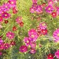 写真: コスモス街道に咲く