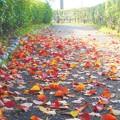 写真: 朝の散歩道@ナンキンハゼの紅葉