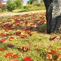 写真: 今朝の公園の紅葉・落葉