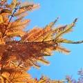 写真: 晩秋の黄葉@メタセコイア