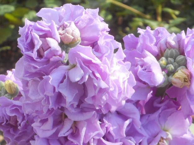 師走に咲く@ストックの花