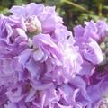 写真: 師走に咲く@ストックの花