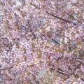 写真: 師走に咲く冬桜@満開