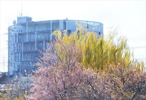 冬桜と青柳と消防本部