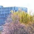 写真: 冬桜と青柳と消防本部