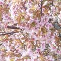 写真: 冬桜が満開