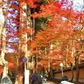 写真: 杉木立の参道の紅葉@錦秋の佛通寺
