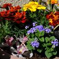 Photos: ミニ花壇んに咲く